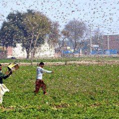 locust attack in gurugram