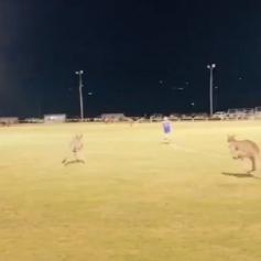 kangaroos jumping in ground