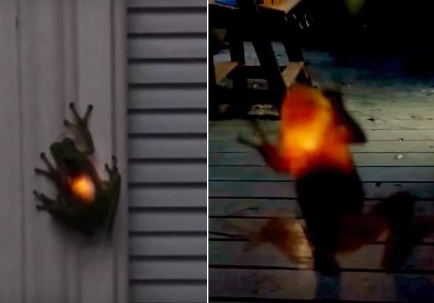 frog eats firefly