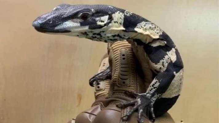 lizard 55 lakh rupees