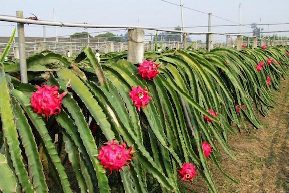Pathankot Dragon fruit farming