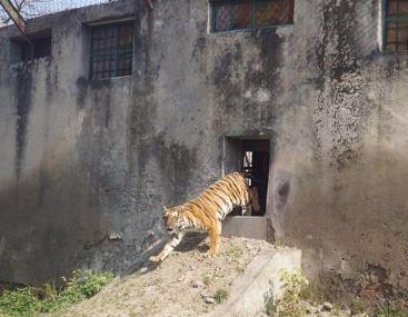 tiger safari Inchra dies