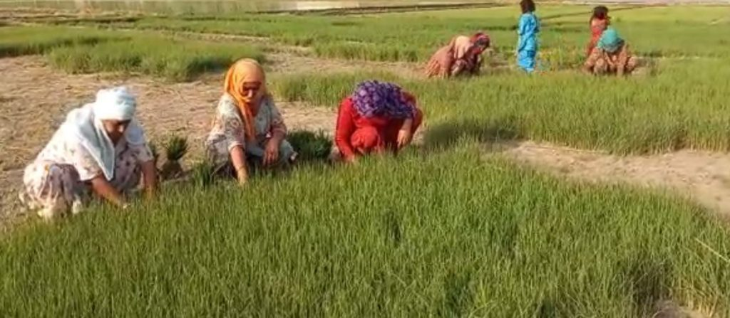women planting paddy