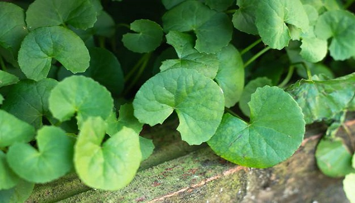 how to eat brahmi leaves